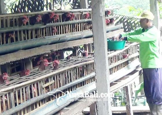 Nusabali.com - pengusaha-ayam-petelur-keluhkan-peredaran-telur-afkiran