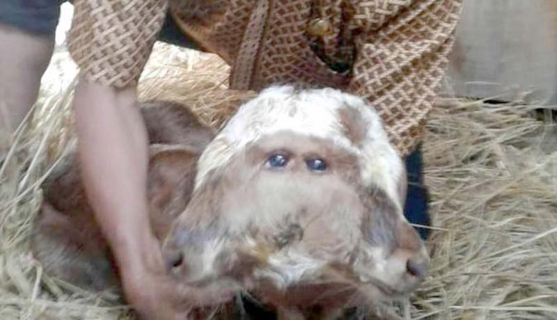 www.nusabali.com-sapi-bermata-empat-hidup-normal