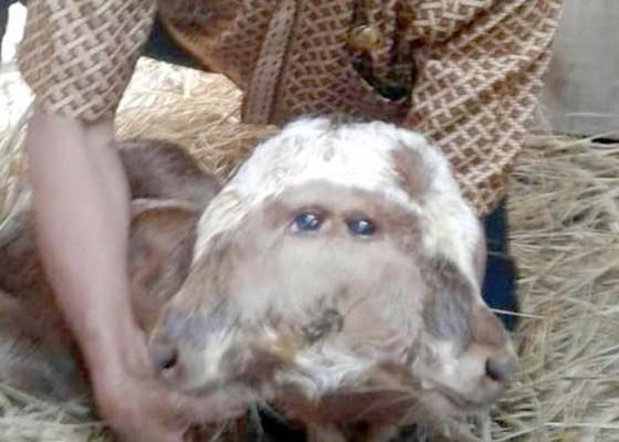 Nusabali.com - sapi-bermata-empat-hidup-normal