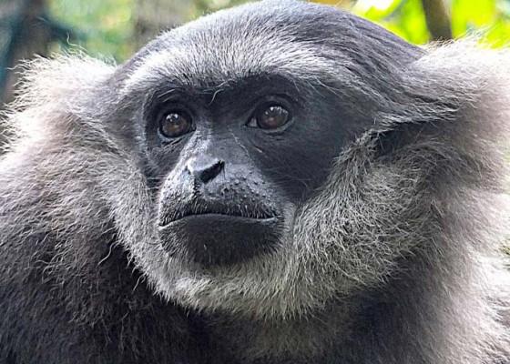 Nusabali.com - boris-owa-jawa-bali-zoo-dilepasliarkan