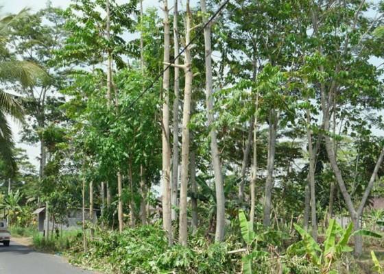 Nusabali.com - ribuan-hektare-hutan-rakyat-kritis-kekeringan
