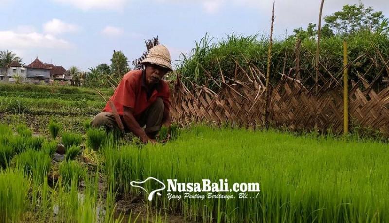 www.nusabali.com-gotong-royong-petani-bali-lenyap