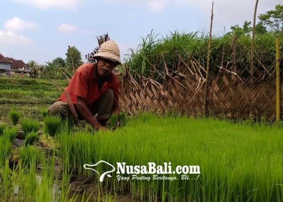 Nusabali.com - gotong-royong-petani-bali-lenyap