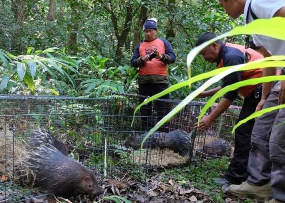 Nusabali.com - bali-zoo-kembali-lepasliarkan-landak-jawa-langka-ke-alam