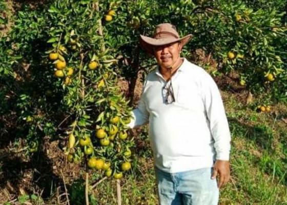 Nusabali.com - nyaris-punah-jeruk-keprok-tejakula-kembali-melejit
