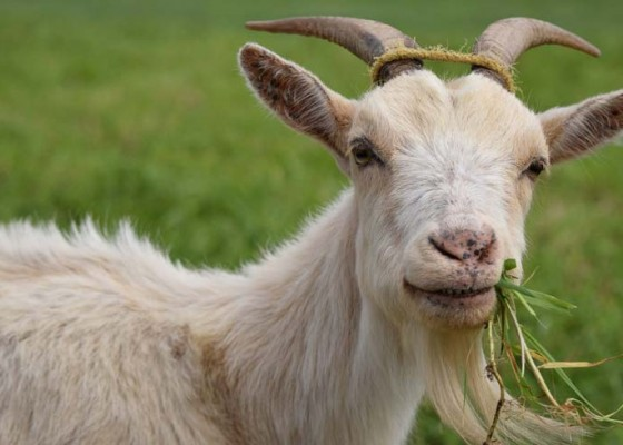 Nusabali.com - dinas-pertanian-tabanan-akan-cek-hewan-kurban