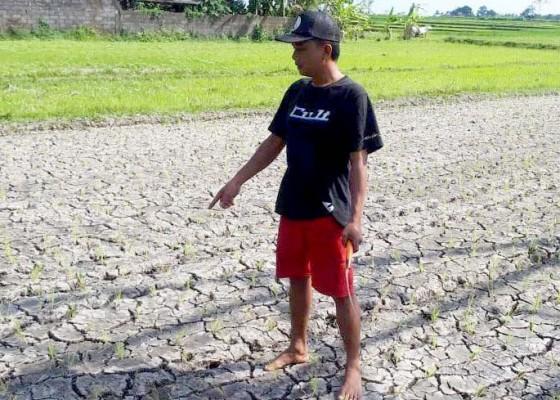 Nusabali.com - petani-subak-segeh-berharap-bantuan-mesin-penyedot-air