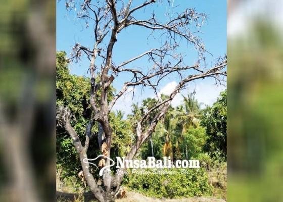 Nusabali.com - terlalu-dipacu-kimia-pohon-mangga-jadi-mati