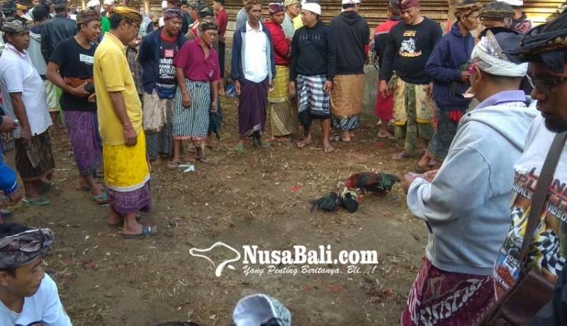 www.nusabali.com-adu-ayam-tanpa-taruhan-berlangsung-35-hari