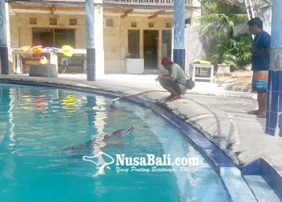 Nusabali.com - lumba-lumba-di-hotel-melka-mati