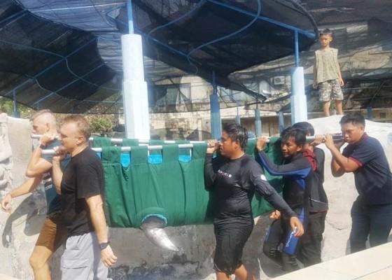 Nusabali.com - 2-lumba-lumba-masih-diobservasi