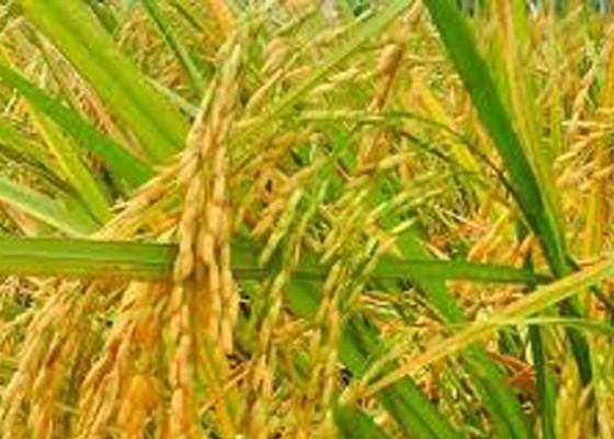 Nusabali.com - padi-hibrida-bisa-tekan-impor-beras