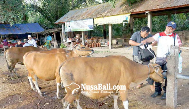 www.nusabali.com-peternakan-cek-kesehatan-hewan-kurban
