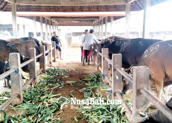 Nusabali.com - permintaan-sapi-bali-jelang-idul-adha-meningkat