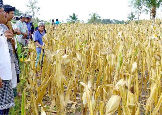Nusabali.com - kekurangan-air-target-panen-jagung-meleset