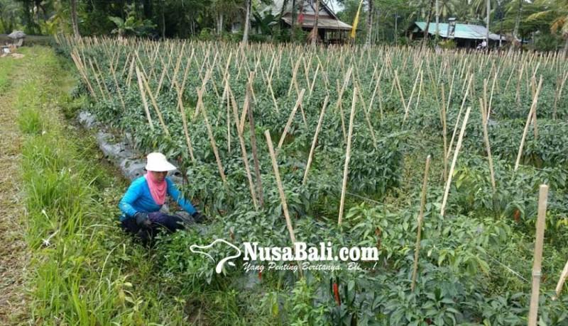 www.nusabali.com-petani-cabai-di-badung-sumringah