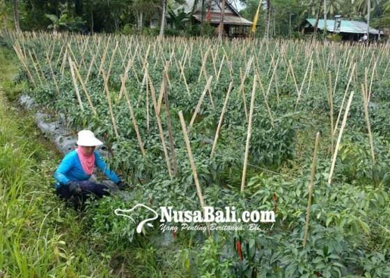 Nusabali.com - petani-cabai-di-badung-sumringah