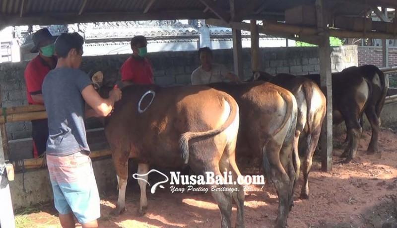 www.nusabali.com-26-ekor-hewan-kurban-bantuan-pemkab-dicek-kesehatan