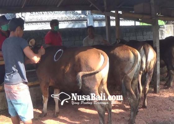 Nusabali.com - 26-ekor-hewan-kurban-bantuan-pemkab-dicek-kesehatan
