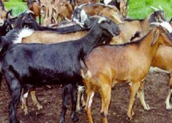 Nusabali.com - 33-dokter-hewan-dikerahkan-periksa-hewan-kurban