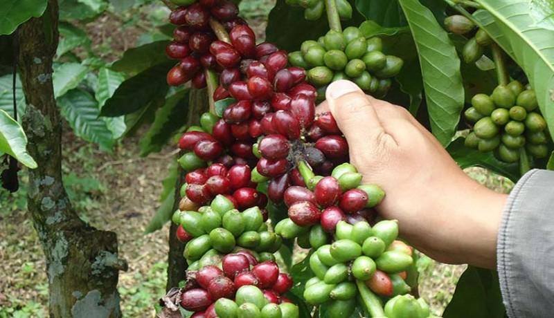 www.nusabali.com-agar-tak-direbut-petani-kopi-mesti-berbenah