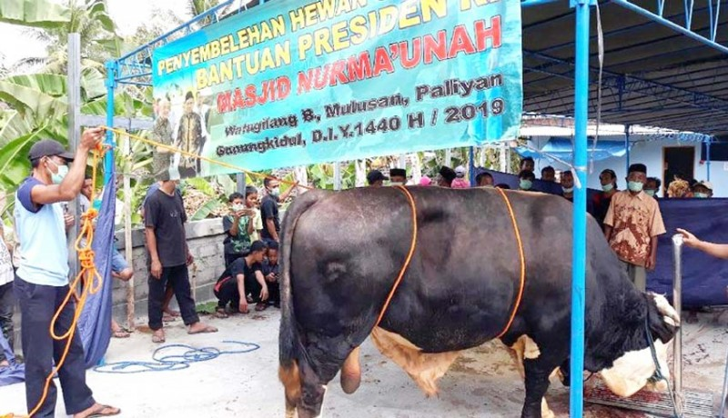 www.nusabali.com-sapi-jokowi-berulah-warga-cedera