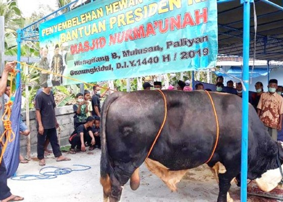 Nusabali.com - sapi-jokowi-berulah-warga-cedera