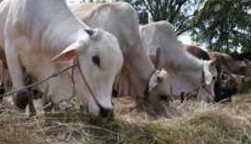 www.nusabali.com-cacing-hati-ditemukan-di-hewan-kurban