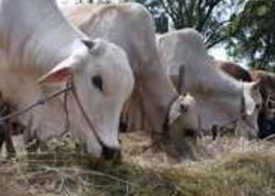 Nusabali.com - cacing-hati-ditemukan-di-hewan-kurban