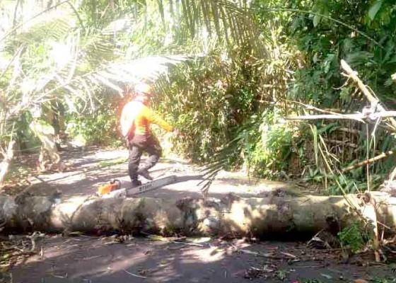 Nusabali.com - pohon-tumbang-tutup-setengah-badan-jalan