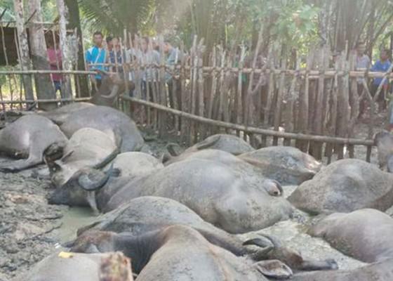 Nusabali.com - penggembala-dan-19-kerbau-tewas-tersambar-petir