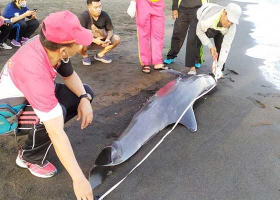Nusabali.com - paus-pilot-terdampar-di-pantai-penimbangan