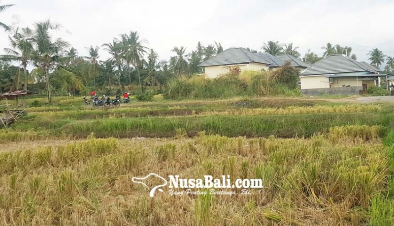 www.nusabali.com-seratusan-hektare-sawah-berganti-bangunan-dalam-dua-tahun