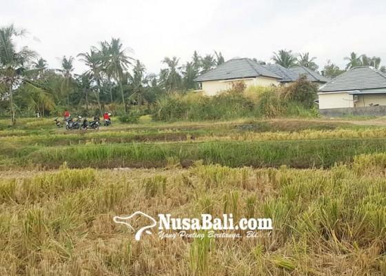 Nusabali.com - seratusan-hektare-sawah-berganti-bangunan-dalam-dua-tahun