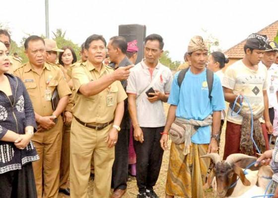 Nusabali.com - 100-ekor-kambing-boerka-untuk-peternak-di-tabanan