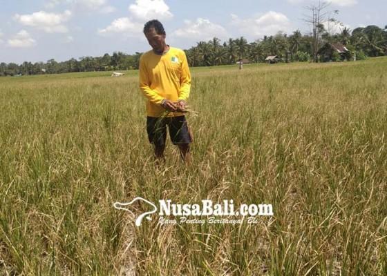 Nusabali.com - puluhan-hektare-sawah-kekeringan