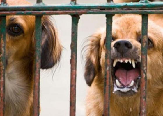 Nusabali.com - pembantu-tewas-diserang-anjing-malinois
