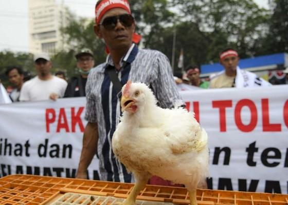 Nusabali.com - demo-peternak-ayam