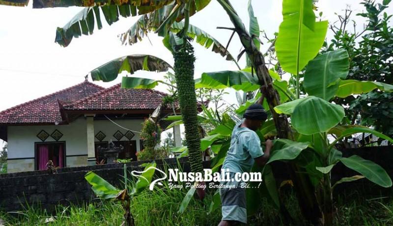 www.nusabali.com-panjang-tandan-pisang-siu-capai-15-meter