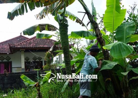 Nusabali.com - panjang-tandan-pisang-siu-capai-15-meter