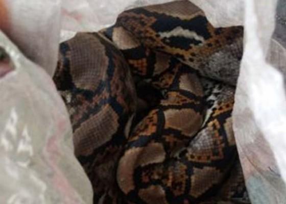 Nusabali.com - asrama-mahasiswa-papua-dilempar-ular