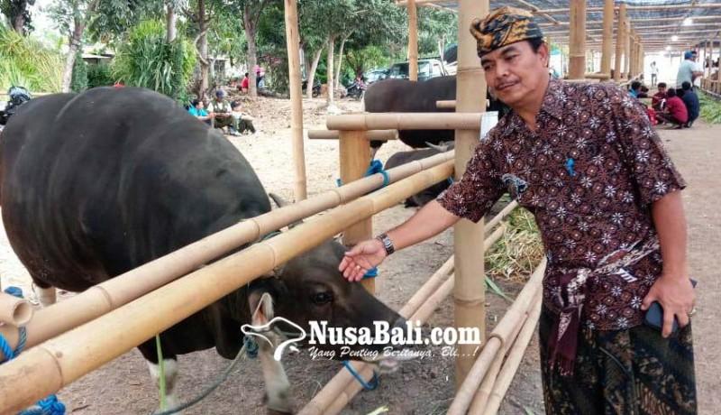 www.nusabali.com-pemprov-gelar-expo-sapi-dan-panen-godel