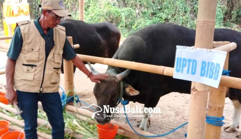 www.nusabali.com-ambil-sperma-pejantan-berbekal-tiruan-alat-kelamin-sapi-betina