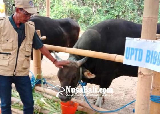Nusabali.com - ambil-sperma-pejantan-berbekal-tiruan-alat-kelamin-sapi-betina