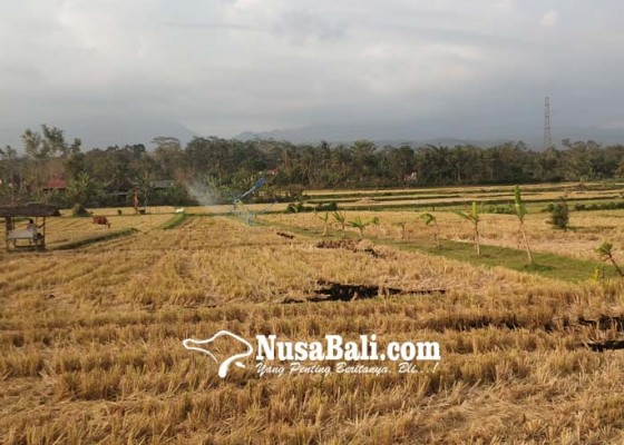 Nusabali.com - kemarau-masa-tanam-padi-ketiga-terancam-ditiadakan