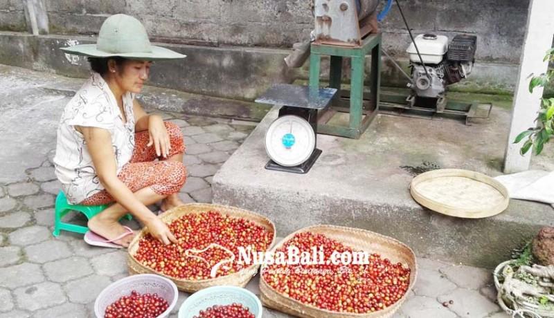 www.nusabali.com-cita-rasa-kopi-bergantung-proses-pengolahan