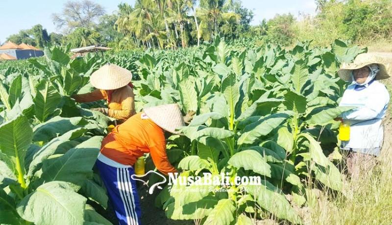 www.nusabali.com-tembakau-buleleng-diserang-virus-mosaik
