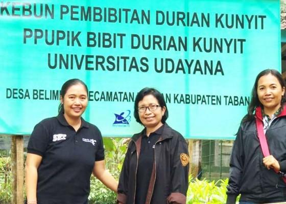Nusabali.com - tim-lppm-unud-kembangkan-bibit-durian-kunyit