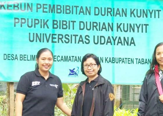Nusabali.com - tim-pengabdi-lppm-unud-kembangkan-bibit-durian-kunyit