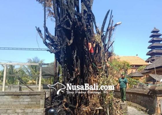Nusabali.com - beringin-keramat-di-desa-siangan-keluarkan-api-hingga-hangus-terbakar
